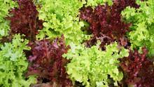 Green Oak Red Oak Background / Salad Leaf Lettuce Salad Plant Hydroponic Vegetable Green And Red Oak Leaves Background