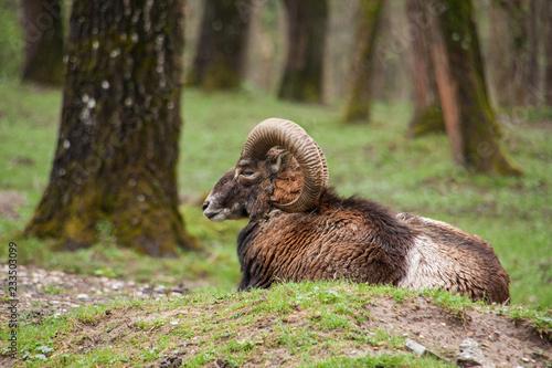 Tuinposter Eekhoorn Liegendes Mufflon
