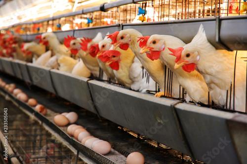Fotomural 養鶏場のニワトリ