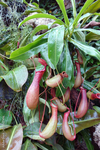 Fotografía  ウツボカズラ 食虫植物 緑
