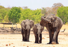 Three African Elephants Standi...