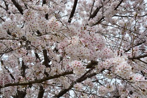 京都鴨川の桜並木
