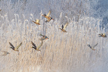 Ducks Flying In Frosty Winter Morning On Foggy River