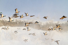 Ducks Taking Off From Misty Ri...