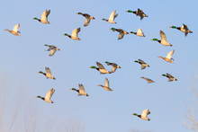 Mallards Flying In The Blue Sky
