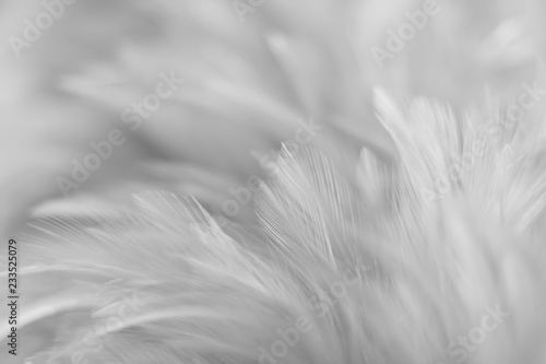 Poster Pissenlit Blur Bird chickens feather texture for background, Fantasy, Abstract, soft color of art design.