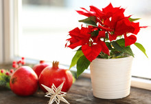 Christmas Flower Poinsettia On...