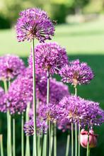 Decorative Purple Bow.