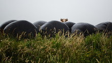 Cow Standing Behind Bales Of Hay