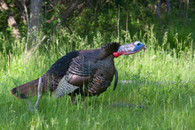 Eastern Wild Turkey Male (Mele...
