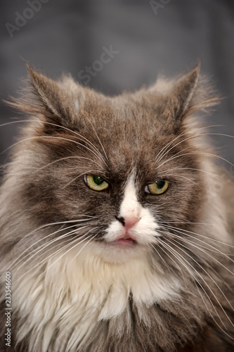 Photo  angry fuzzy gray with white cat on a gray