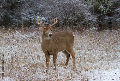 White-tailed deer buck standing in meadow  in the winter snow in Canada