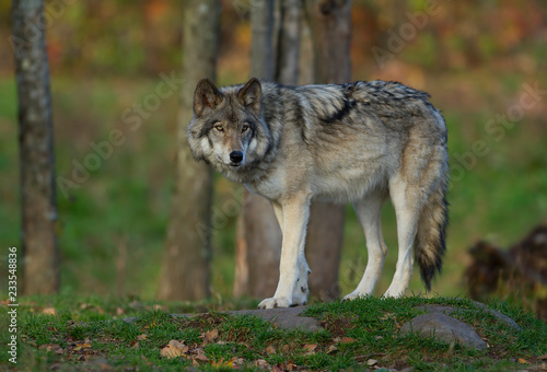 A lone Timber wolf or Grey Wolf (Canis lupus) on top of a rock looks back on an autumn day in Canada