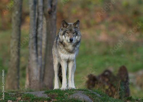 Spoed Fotobehang Wolf A lone Timber wolf or Grey Wolf (Canis lupus) on top of a rock looks back on an autumn day in Canada