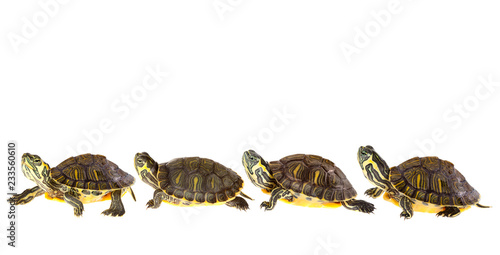 Poster Schildpad Turtle family on parade
