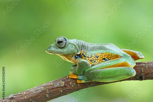 Tuinposter Kikker green tree frog, java frog, flying frog