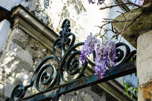 Old forging gate with ornament (entry to abandoned manor)  and stone brick wall overgrown with blooming Wisteria flowers.