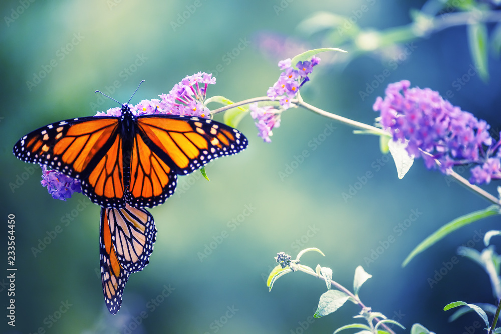 Fototapeta Butterfly on a lilac flower. The most famous butterfly of North America is the monarch's daaid. Gentle artistic photo. Soft selective focus.