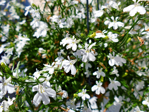 Foto op Canvas Bloemen Plant with lots of white flowers closeup
