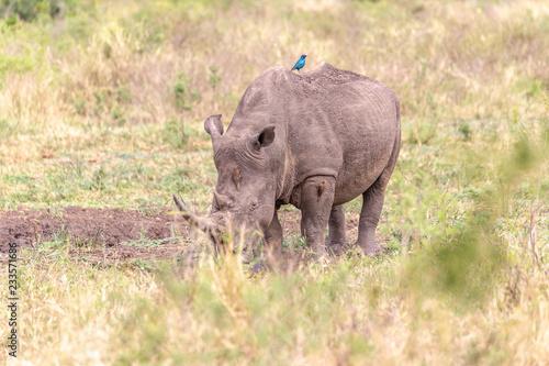 Rhinocéros et oiseau bleu - Buy this stock photo and explore similar ...