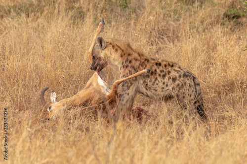Spoed Foto op Canvas Hyena Hyène et carcasse d'impala