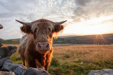 Highland Cattle In The Yorkshi...
