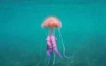 Mauve Stinger Jellyfish (Pelagia Noctiluca), Mediterranean Sea, Spain