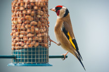 Goldfinche (Carduelis Carduelis) Eating Nuts From A Bird Feeder