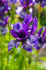 Iris sibirica violet flowers in sunlight vertical