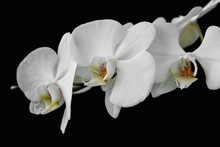 The Branch Of White Orchid Isolated On Black Background.