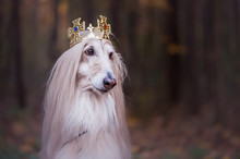 Dog In The Crown,   Afghan Hounds ,  In Royal Clothes, On A Natural Background. Dog Lord, Prince, Dog Power Theme