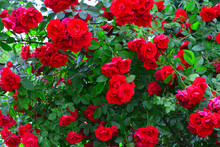 Beautiful Red Rose Bush Red Ro...