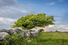 Windshed Tree With Stone Walls, Burren, County Clare, Republic Of Ireland