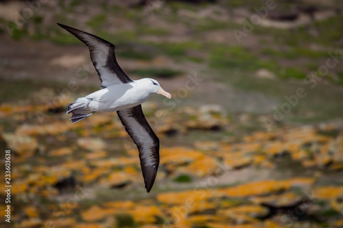 Fotografija  Black browed Albatross flies over Falkland Islands.