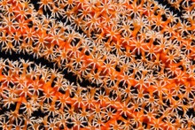 Coral Fan, Gorgonian (Gorgonacea), Detail With Open Coral Polyps, Selayar South Sulawesi, Pacific, Indonesia, Asia