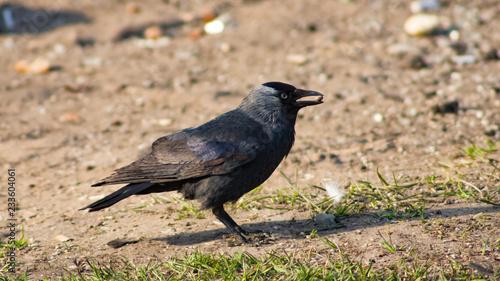 Jackdaw bird, Corvus monedula on ground with seed in beak, selective focus, shallow DOF