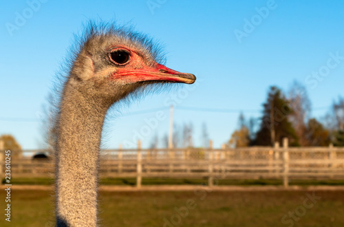 Ostrich Profile of head with red beak and neck on the farm.