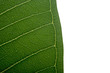 green leaf of frangipani isolated on the white