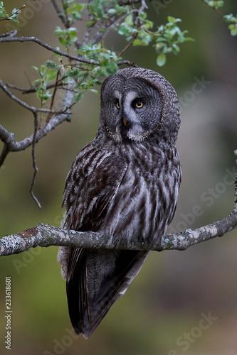 Fotografia  Great grey owl (Strix nebulosa)