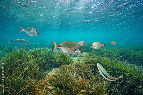 Mediterranean fishes underwater with neptune sea grass below water surface, Cabo de Palos, Cartagena, Murcia, Spain
