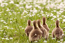 Rear View Of Goslings On Grassy Field