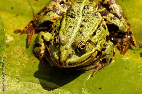 Tuinposter Kikker frog on leaf