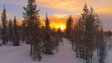 AERIAL CLOSE UP Flying Trough Snowy Misty Spruce Forest At Golden Winter Sunrise