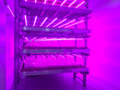 canvas print picture - Salad crops growing under LED lights
