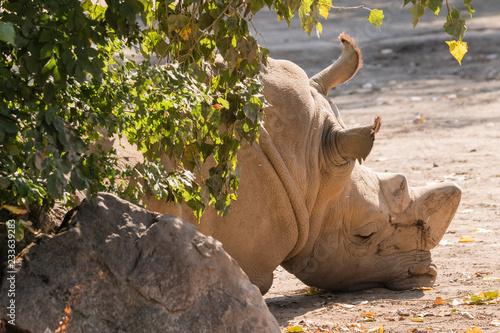 Sad lying rhinoceros.