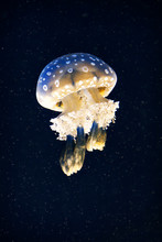 Jellyfish In Water