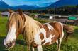 Geflecktes Haflinger Pferd