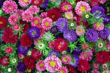 MY MINI GARDEN - Flowers - Geranimus