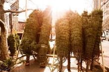Christmas Trees Displayed On Footpath