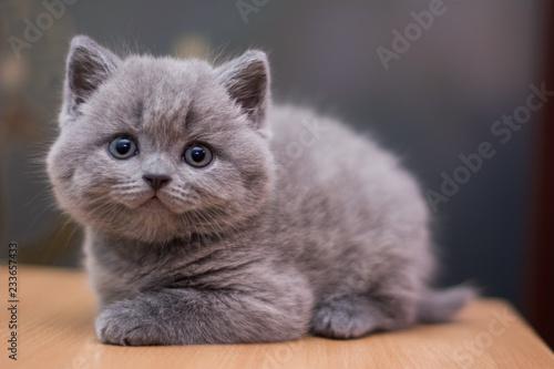 Foto auf Leinwand scottish kitten british cat munchkin